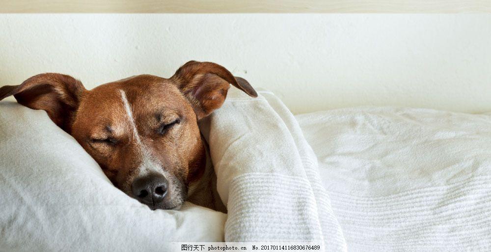 睡觉的小狗摄影 睡觉的小狗摄影图片素材 被子 宠物 动物 动物世界