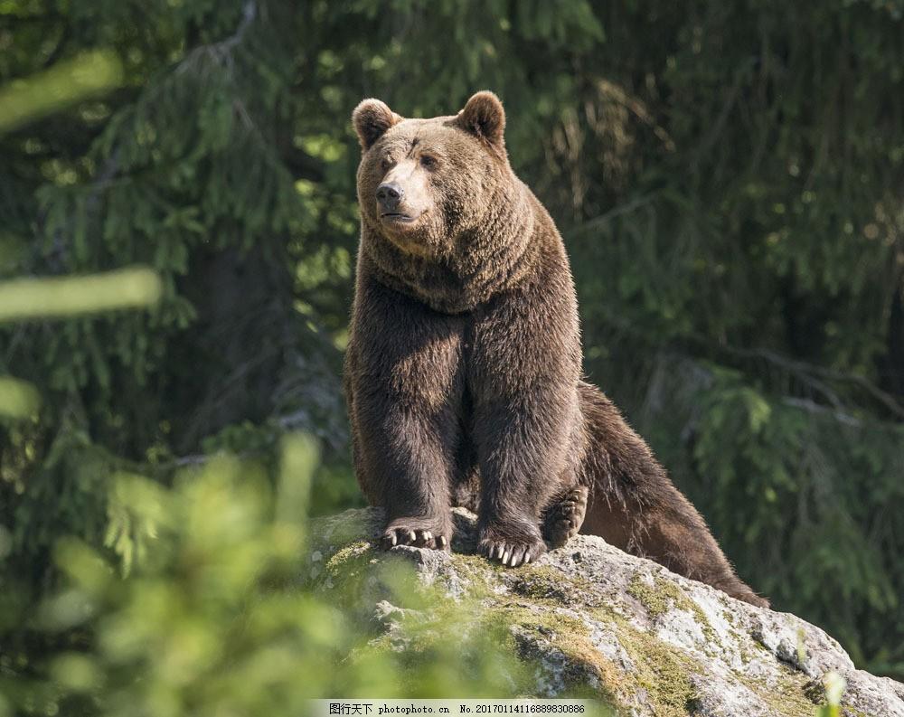 岩石上的狗熊 岩石上的狗熊图片素材 动物 陆地动物 野生动物 动物
