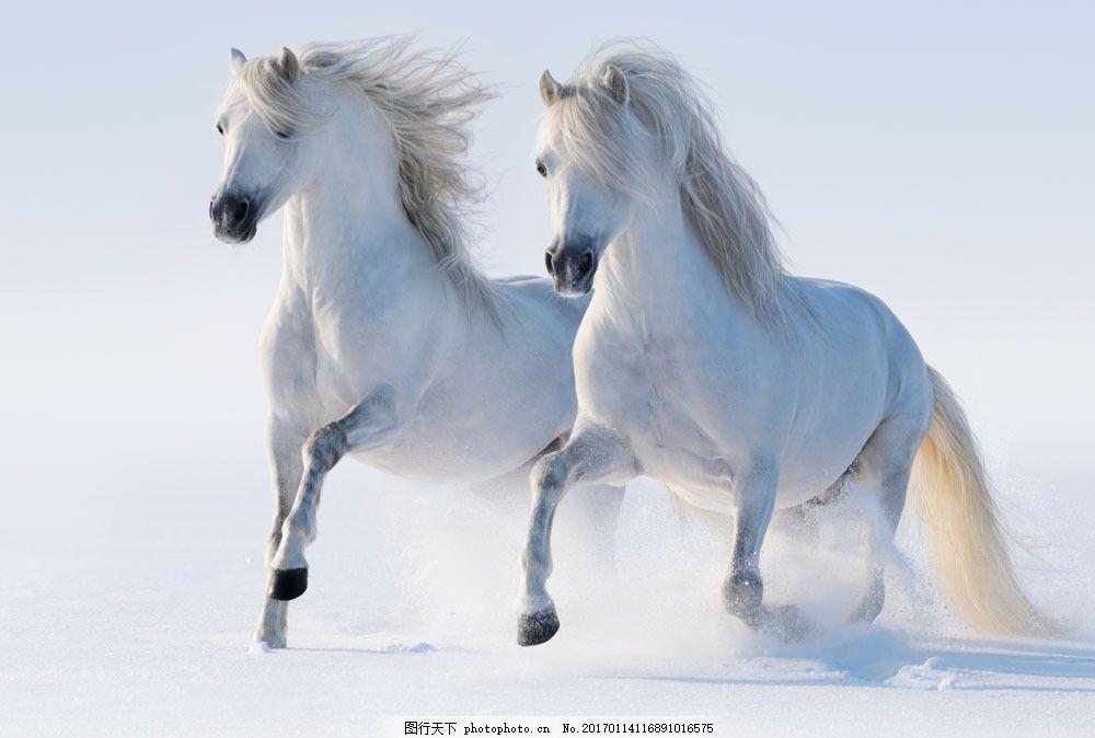 雪地上的两白马 雪地上的两白马图片素材 白色 动物 陆地动物 生物