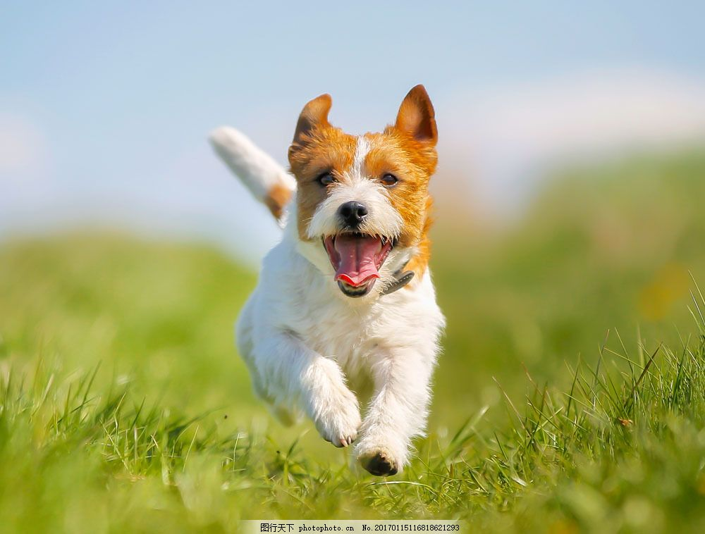 草地奔跑的小狗图片素材 狗 小狗 可爱的狗 宠物 动物 动物世界 陆地