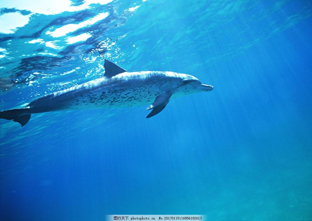 海洋中的海豚 海洋中的海豚图片素材 动物世界 生物世界 海底生物