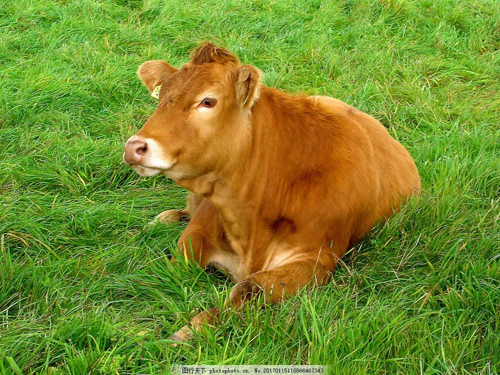 坐在草地上的牛 坐在草地上的牛图片素材 动物 牧场 小牛 趴着