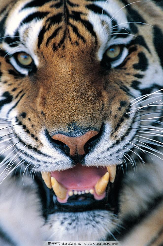老虎头部特写图片素材 野生动物 动物世界 哺乳动物 老虎 头部特写