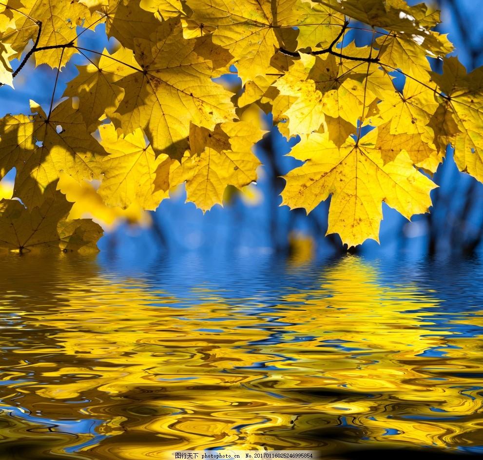 秋天的风景高清,高清图片 秋景 枫树 红叶 黄色 枯叶