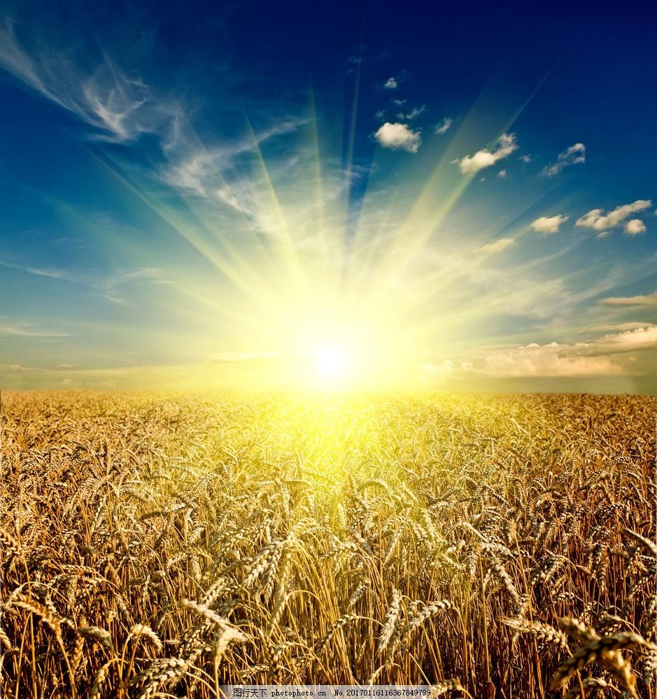 设计图库 高清素材 自然风景  金色阳光稻田风景图片素材 稻田 金黄