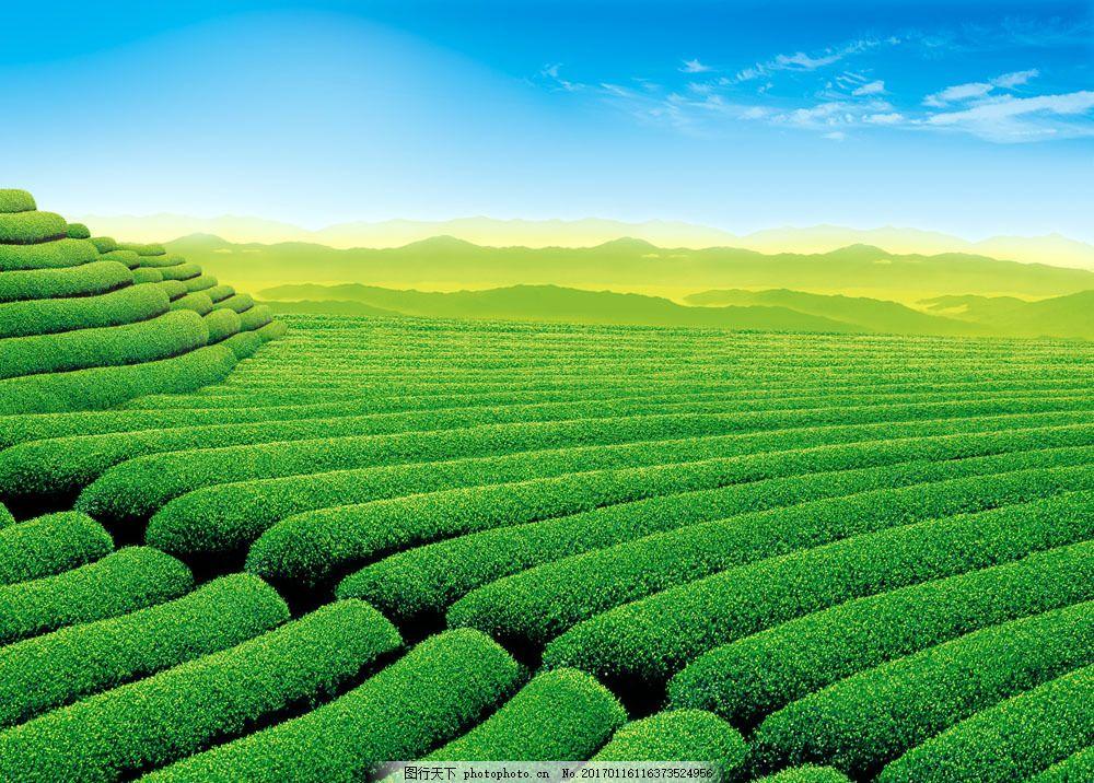 美丽茶山风景图片