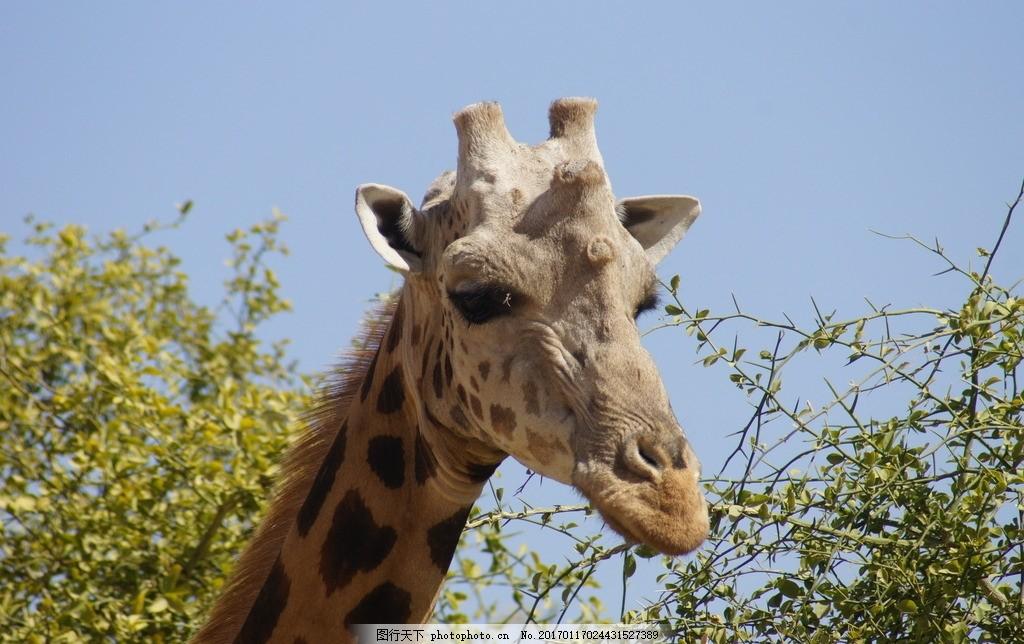 长颈鹿头部 长颈鹿 长脖鹿 非洲 反刍 偶蹄动物 南非国兽 长脖 长颈