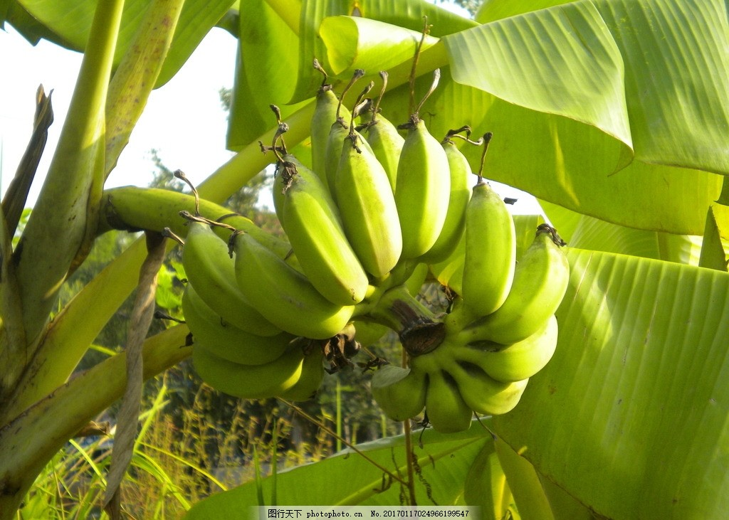 香蕉 水果 香蕉树 维生素 水果摄影 水果海报 水果家族 水果摊 热带