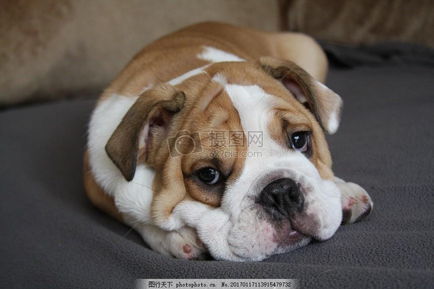 慵懒的小狗狗 公牛 狗 小狗 可爱 廖成利 慵懒 懒惰 趴着 眼睛 耳朵