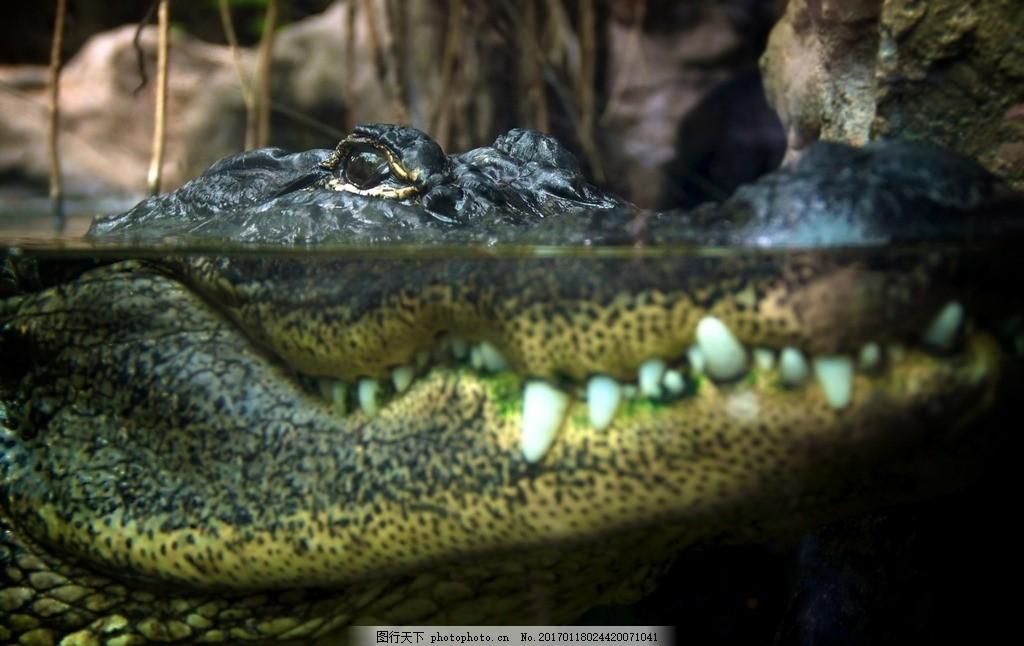鳄鱼 冷血动物 爬行动物 肉食性动物 食肉动物 凶猛 血盆大口