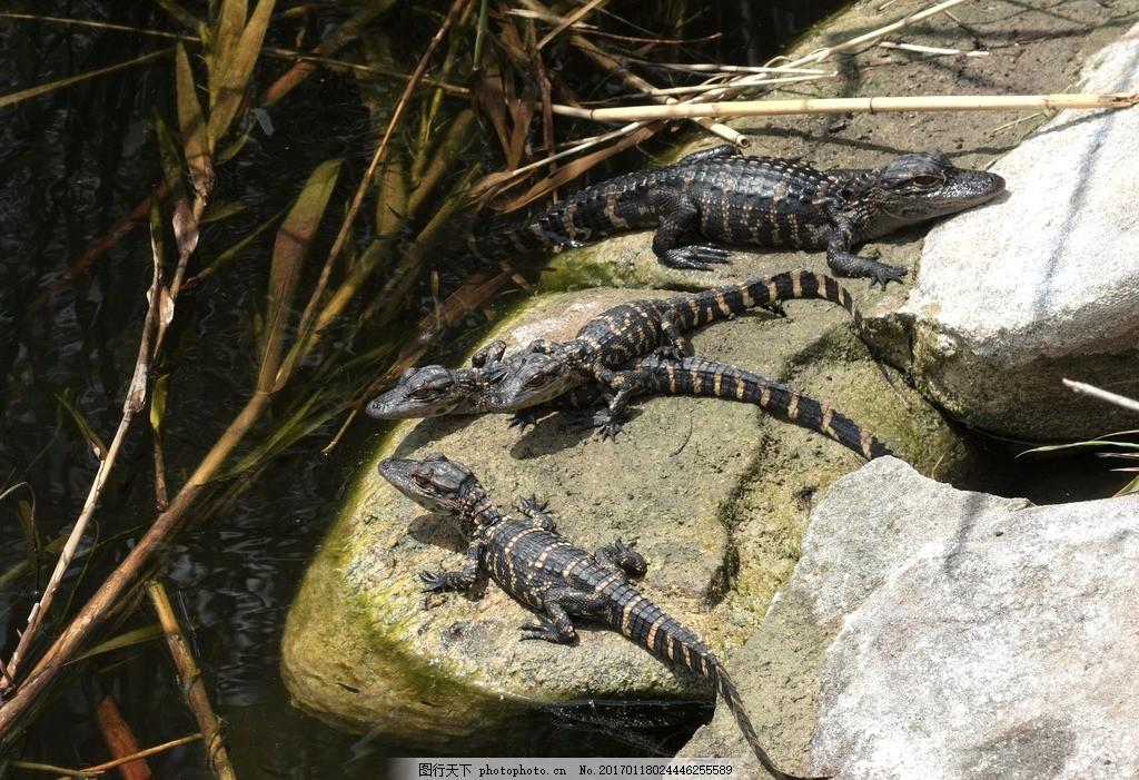小鳄鱼 冷血动物 爬行动物 肉食性动物 食肉动物 凶猛 血盆大口
