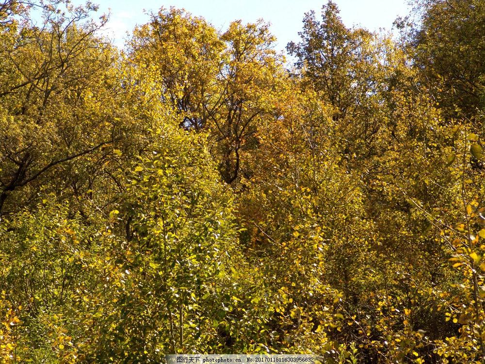 秋天森林大树风景图片素材 美丽枫树林 秋天枫叶 秋天树叶 秋季 枫叶