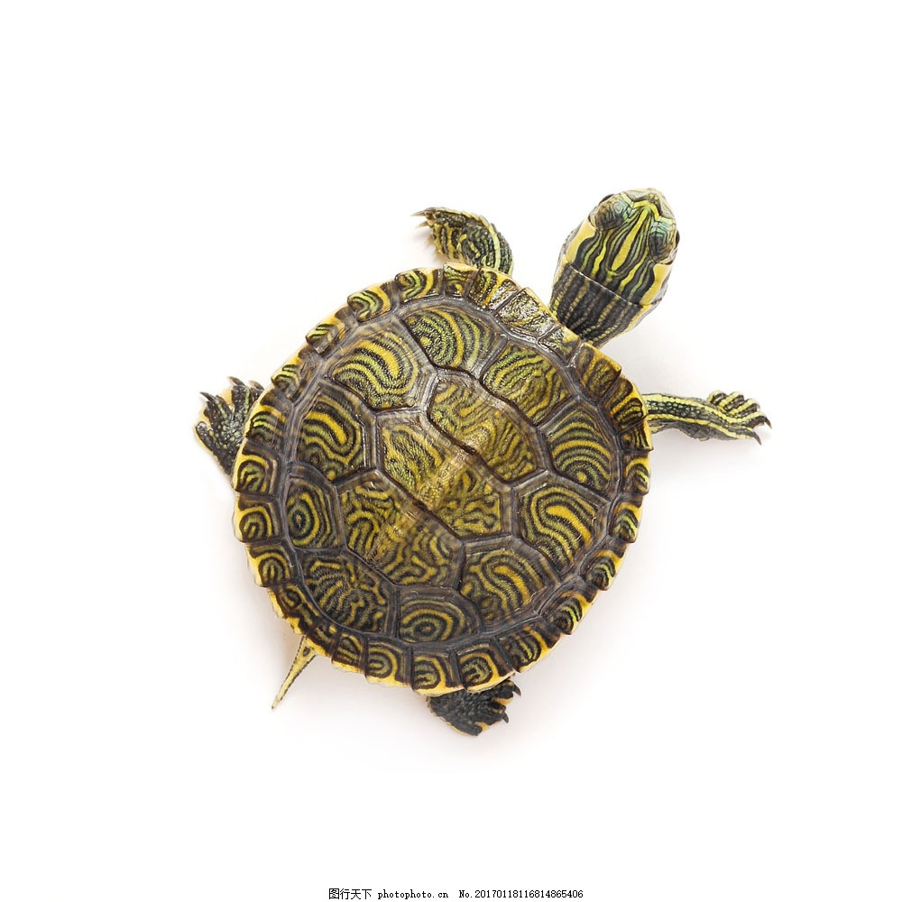 花纹乌龟 花纹乌龟图片素材 海龟 水中生物 动物 野生动物 动物世界