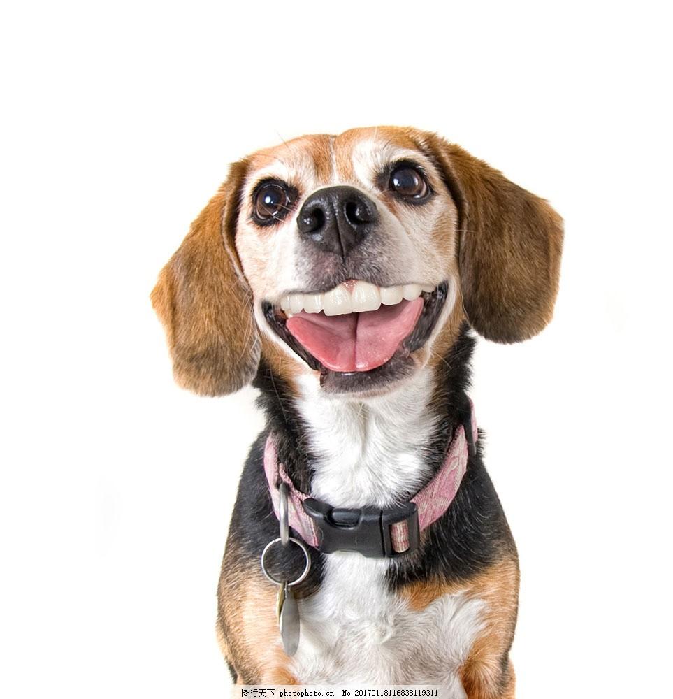 张着嘴的狗 张着嘴的狗图片素材 链子 张嘴 动物 宠物 狗狗图片