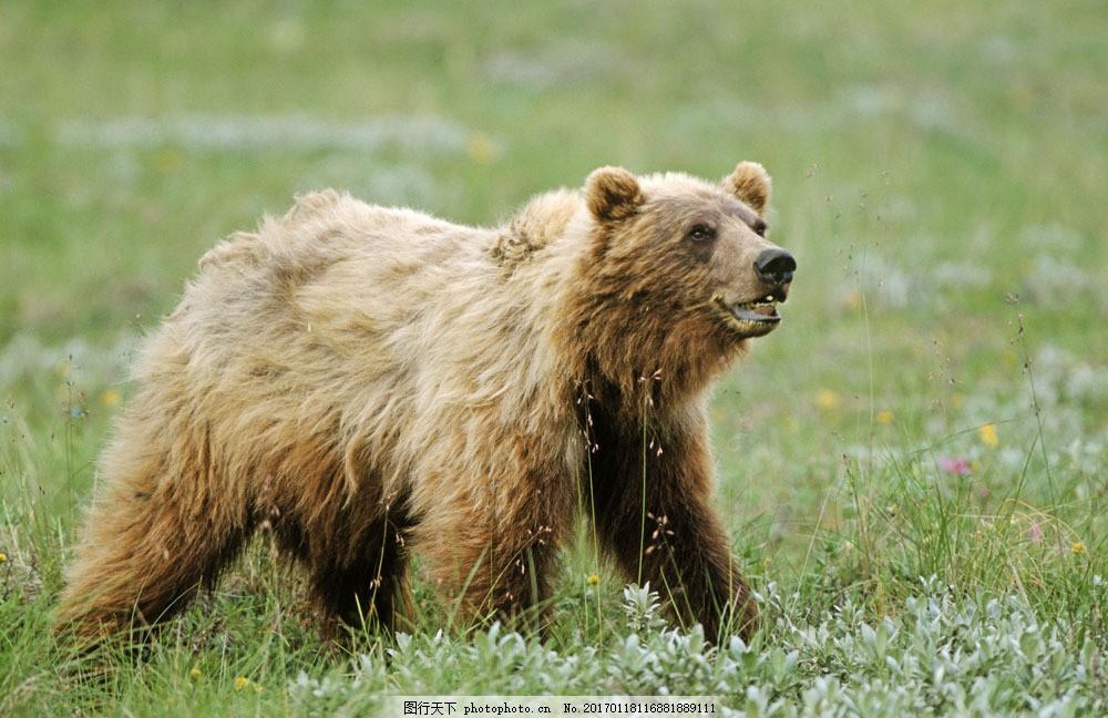 野生棕熊摄影图片素材 脯乳动物 保护动物 狗熊 野生动物