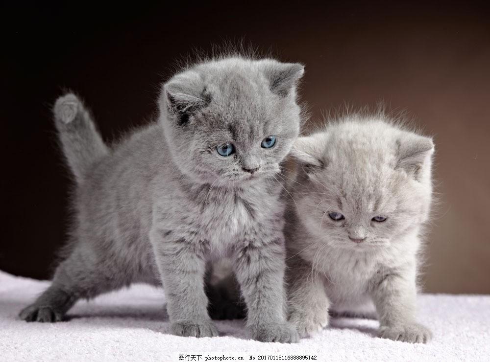 灰色小猫咪图片素材 小灰猫 猫咪 小猫 宠物 可爱动物 萌宠 动物摄影