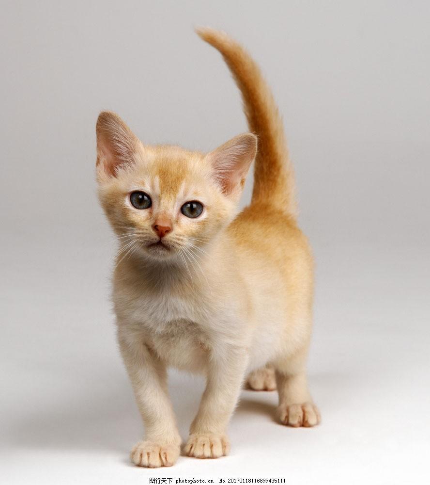 可爱小猫咪图片素材 猫 小猫 可爱 猫咪 萌 宠物猫 动物世界 猫咪图片