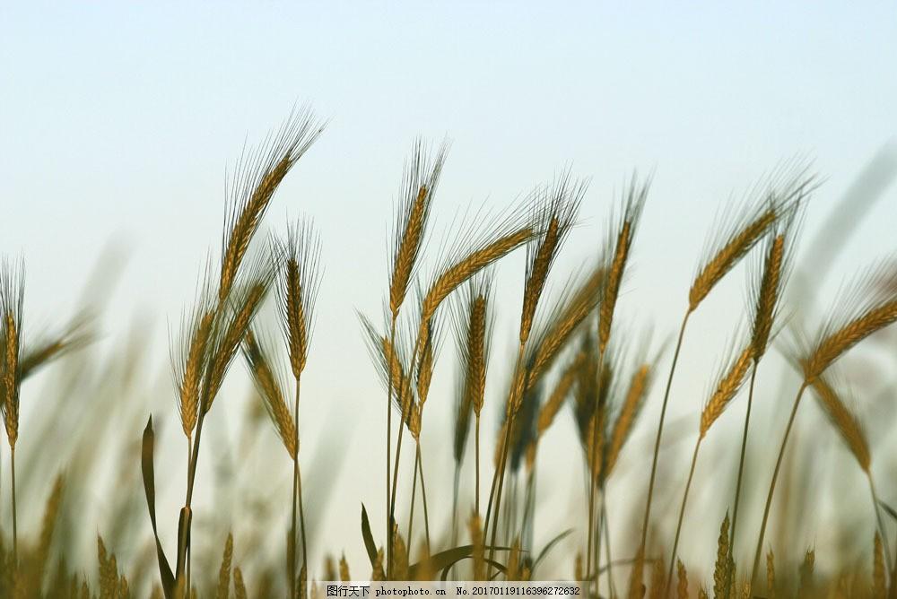麦穗摄影 麦穗摄影图片素材 田园 麦子 度假 风景 美景 景色