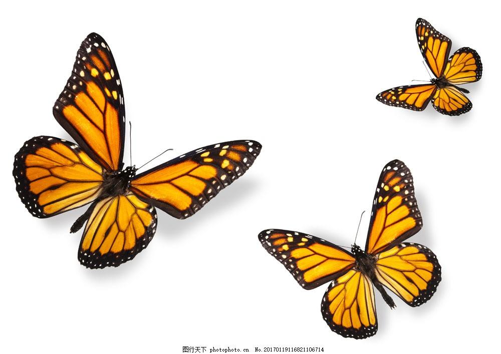 美丽蝴蝶图片素材 蝴蝶 美丽蝴蝶 飞蛾 动物世界 昆虫世界 生物世界