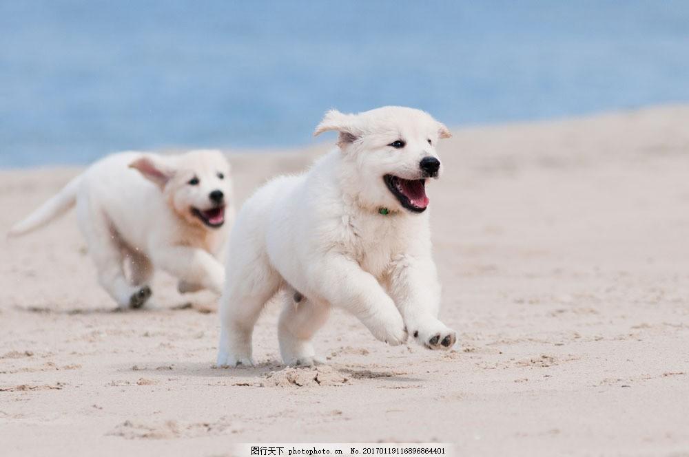 海滩奔跑的小狗 小狗 狗狗 宠物狗 可爱小狗 动物世界 狗狗图片 生物
