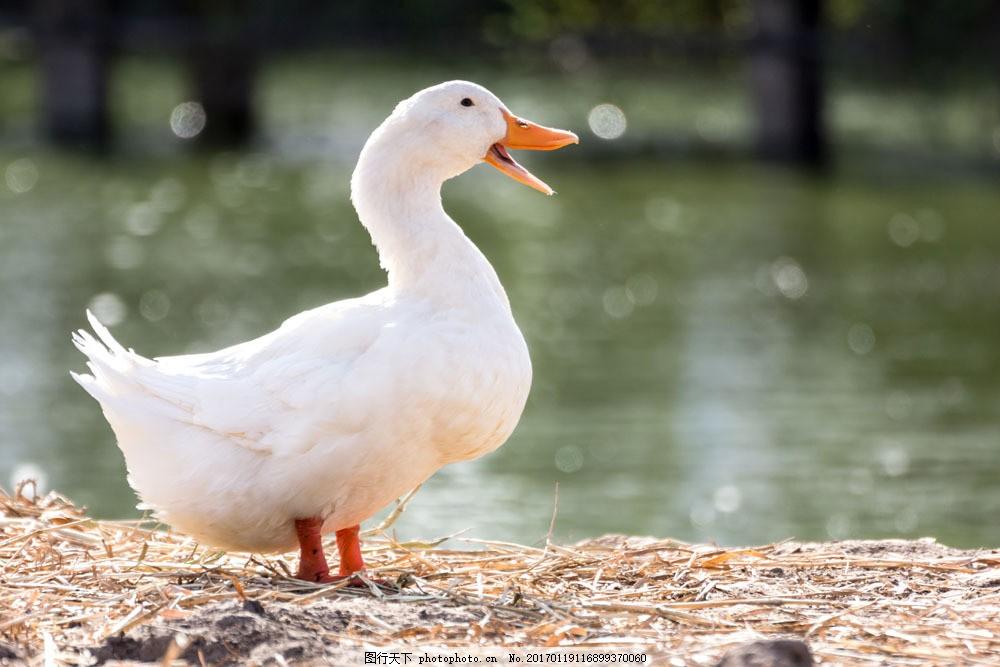 白色鸭子 白色鸭子图片素材 水鸭子 禽类 动物 动物世界 陆地动物