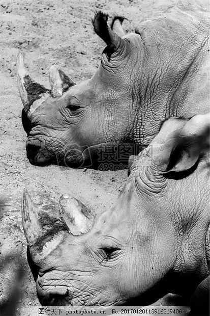 非洲犀牛黑白照片