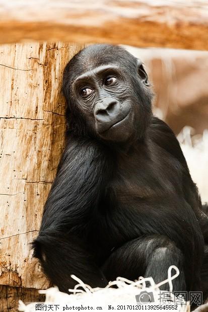 倚着树桩的小猩猩 婴儿 动物 大猩猩 非洲 黑 灵长类动物 猴子