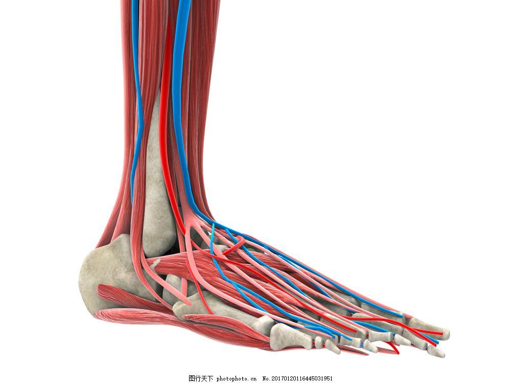 人体脚部骨骼肌肉图片