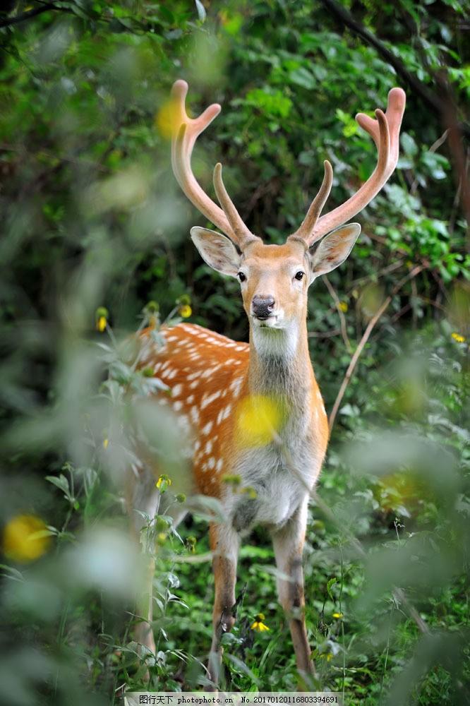 森林里的糜鹿 森林里的糜鹿图片素材 小鹿 动物 陆地动物 野生动物