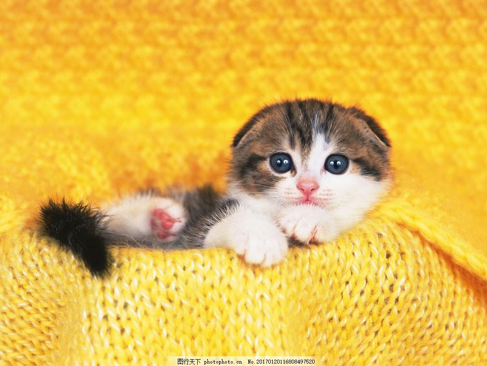 可爱猫咪图片素材 动物世界 可爱 小动物 宠物 小猫 猫咪 猫咪图片