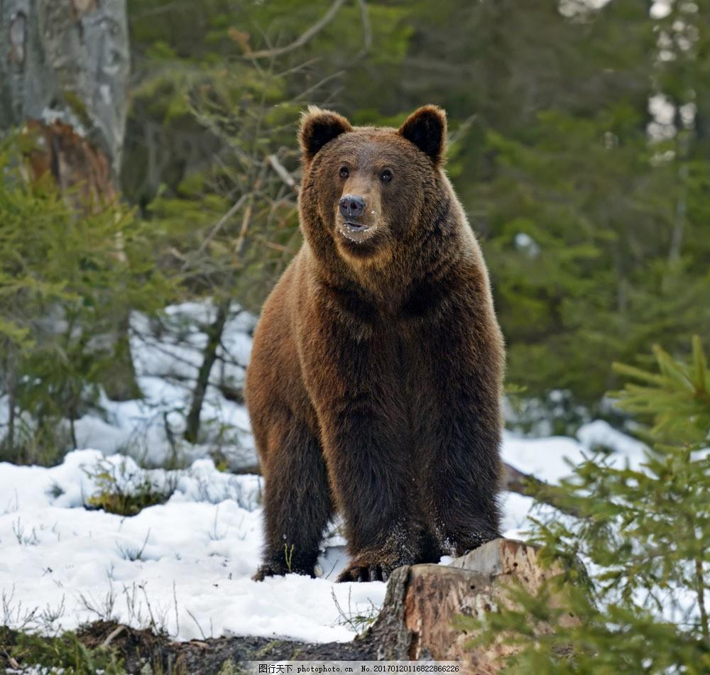 雪地里的狗熊 雪地里的狗熊图片素材 动物 陆地动物 野生动物 动物