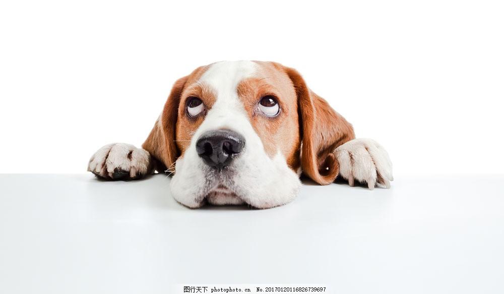趴着的狗 趴着的狗图片素材 广告牌 动物 宠物 狗狗图片 生物世界