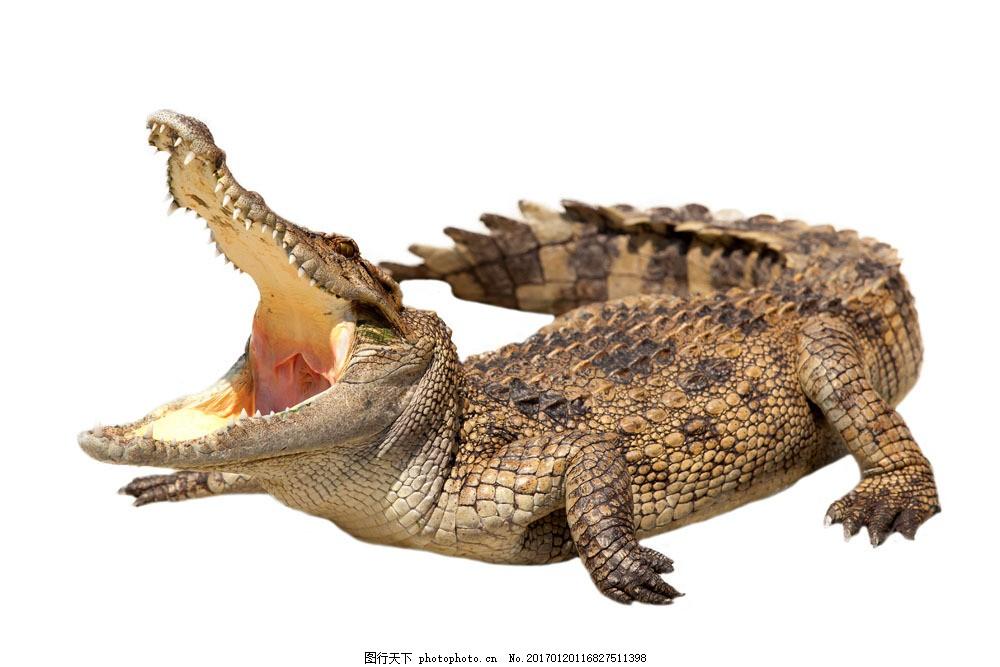张大嘴巴的鳄鱼 张大嘴巴的鳄鱼图片素材 野生动物 爬行动物 动物世界
