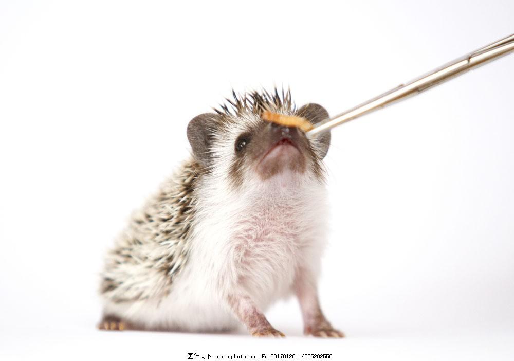 喂刺猬吃虫子 喂刺猬吃虫子图片素材 可爱动物 陆地动物 野生动物
