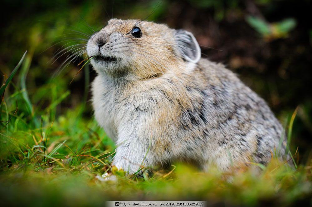老鼠摄影 老鼠摄影图片素材 野生动物 动物世界 动物摄影 陆地动物