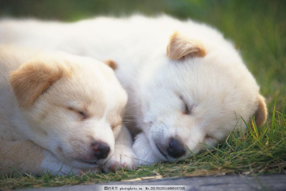 睡觉的小狗 睡觉的小狗图片素材 动物世界 可爱 小动物 宠物 名贵犬种
