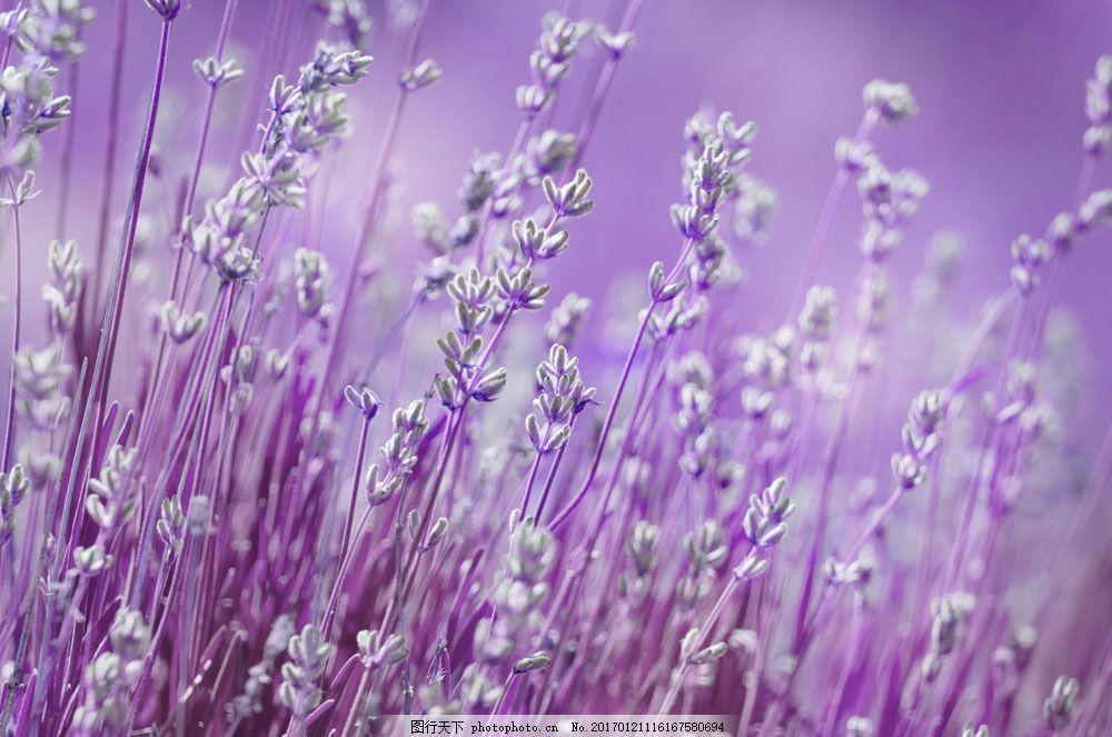 紫色花草背景图片素材 紫色花草 花朵 鲜花 花丛 梦幻背景 小清新背景
