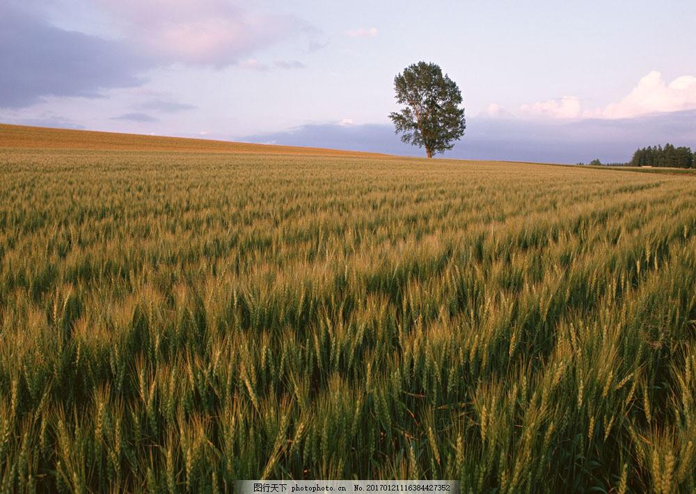 麦田摄影图片素材 四季风景 美丽风景 美景 自然景色 树木 田园风光