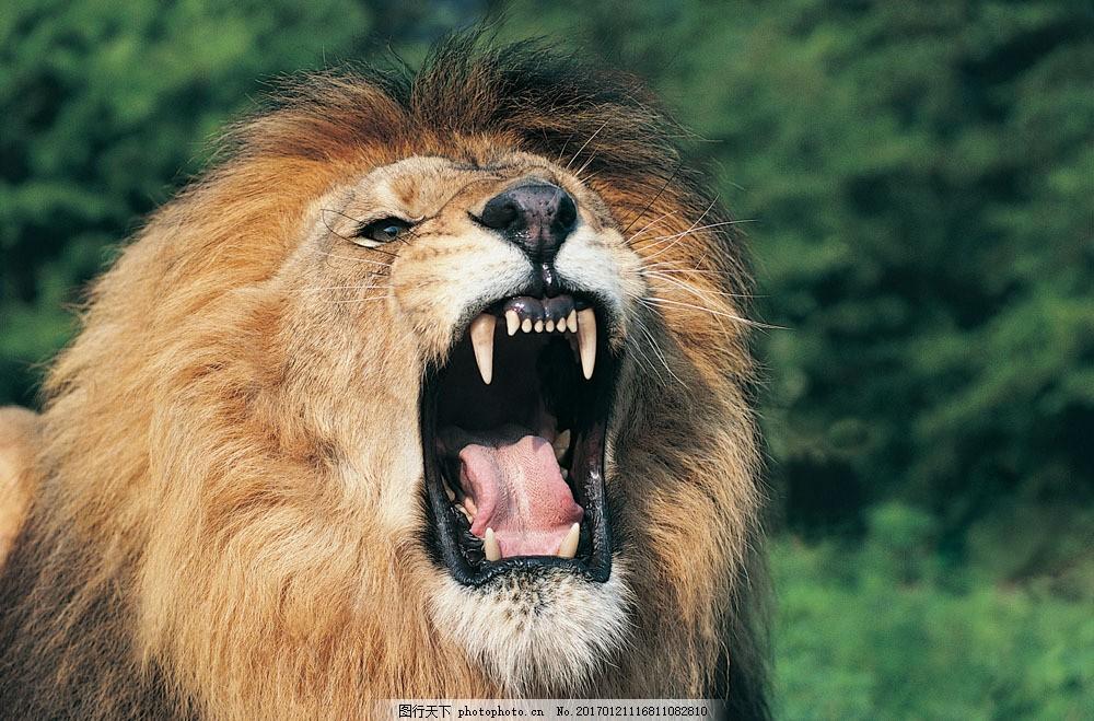 大吼的狮子 大吼的狮子图片素材 动物 野生动物 张嘴 雄狮 锋利牙齿