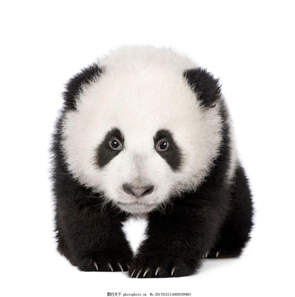 国宝熊猫素材 国宝熊猫素材图片素材 熊猫摄影 动物素材 摄影素材