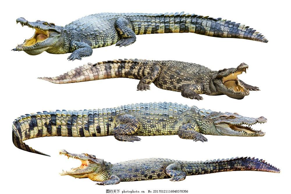 凶猛的鳄鱼图片素材 鳄鱼 鳄鱼嘴巴 野生动物 爬行动物 动物世界 水中