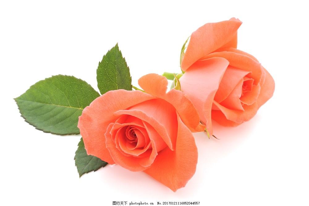橙色玫瑰花 橙色玫瑰花图片素材 花瓣 植物花朵 美丽鲜花 漂亮花朵图片