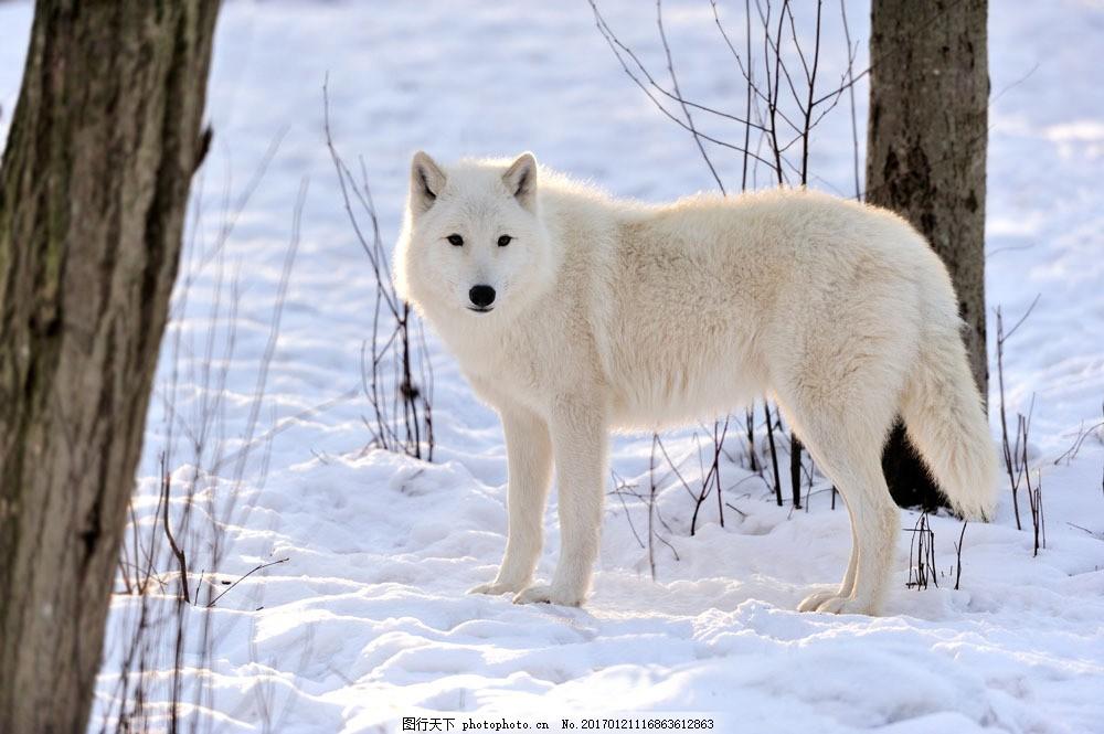 雪地里的白色狼 雪地里的白色狼图片素材 陆地动物 生物世界