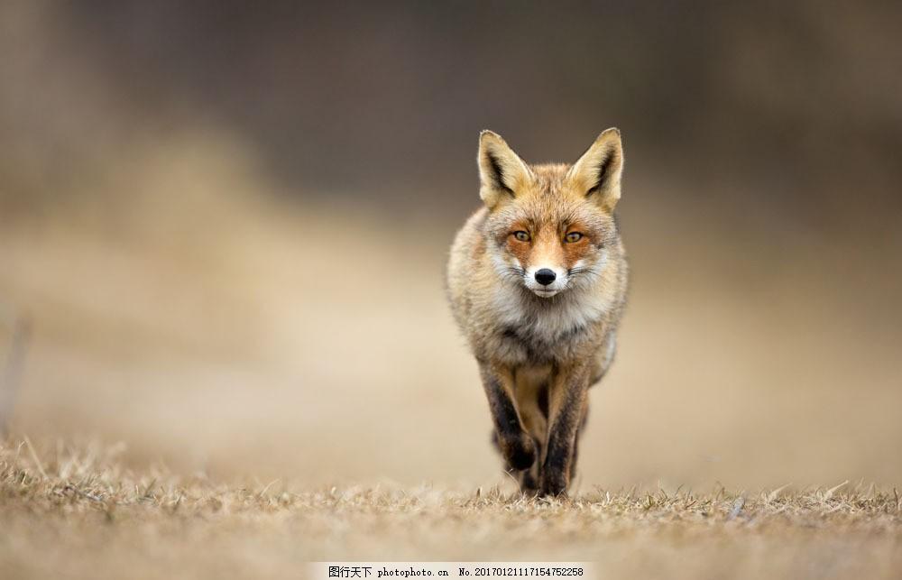草地上的狼 草地上的狼图片素材 动物 陆地动物 其他类别