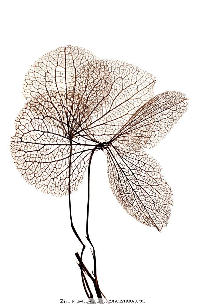 枯萎的叶子 枯萎的叶子图片素材 植物 叶子标本 书画文字 文化艺术