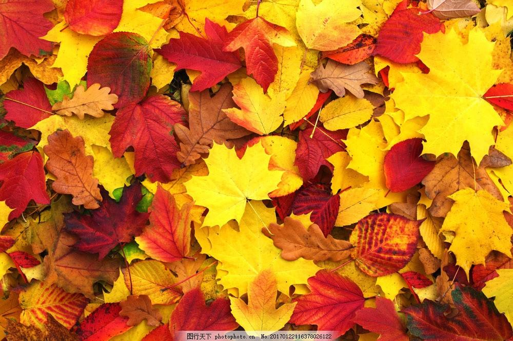 一堆枫叶落叶风景 一堆枫叶落叶风景图片素材 秋天枫叶 秋天树叶