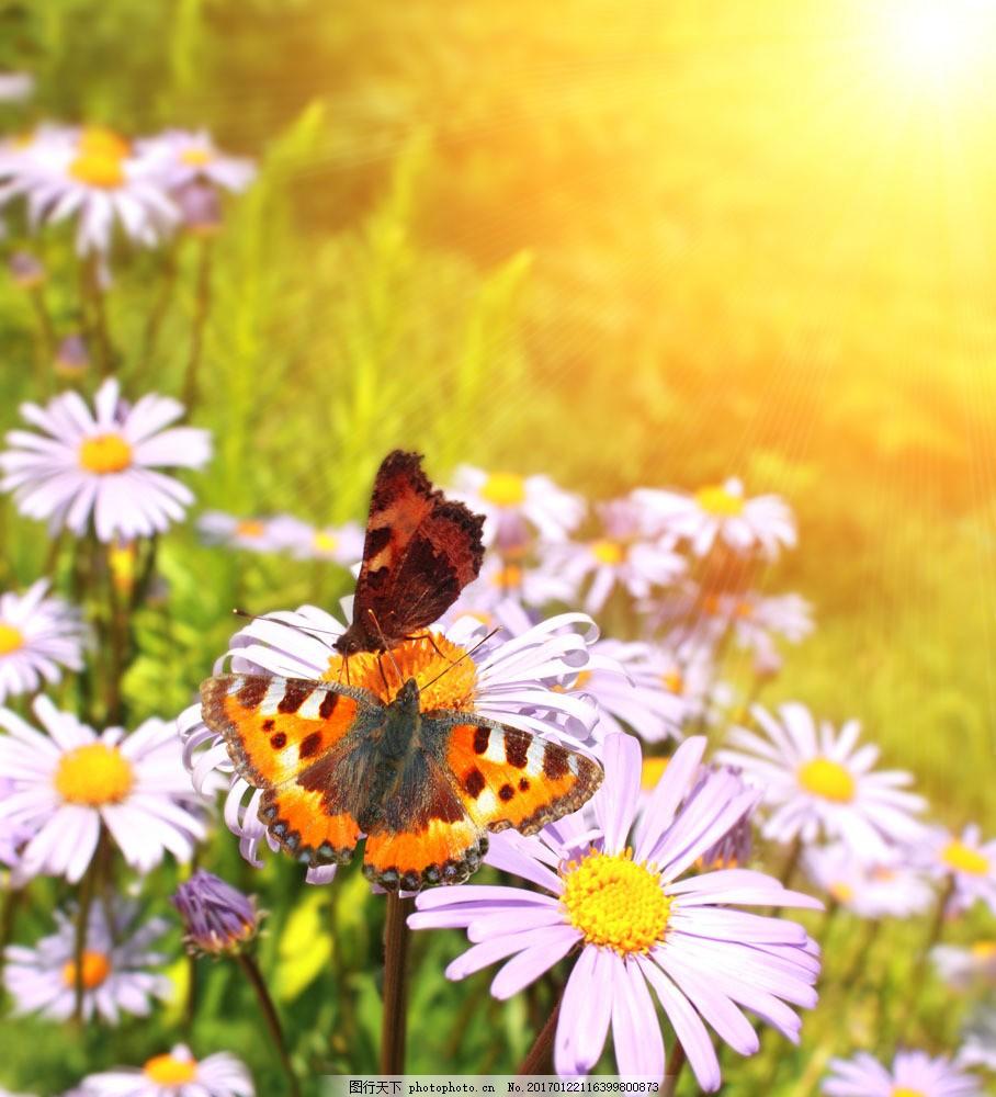 设计图库 高清素材 自然风景  花朵上的两只蝴蝶实用背景图片素材