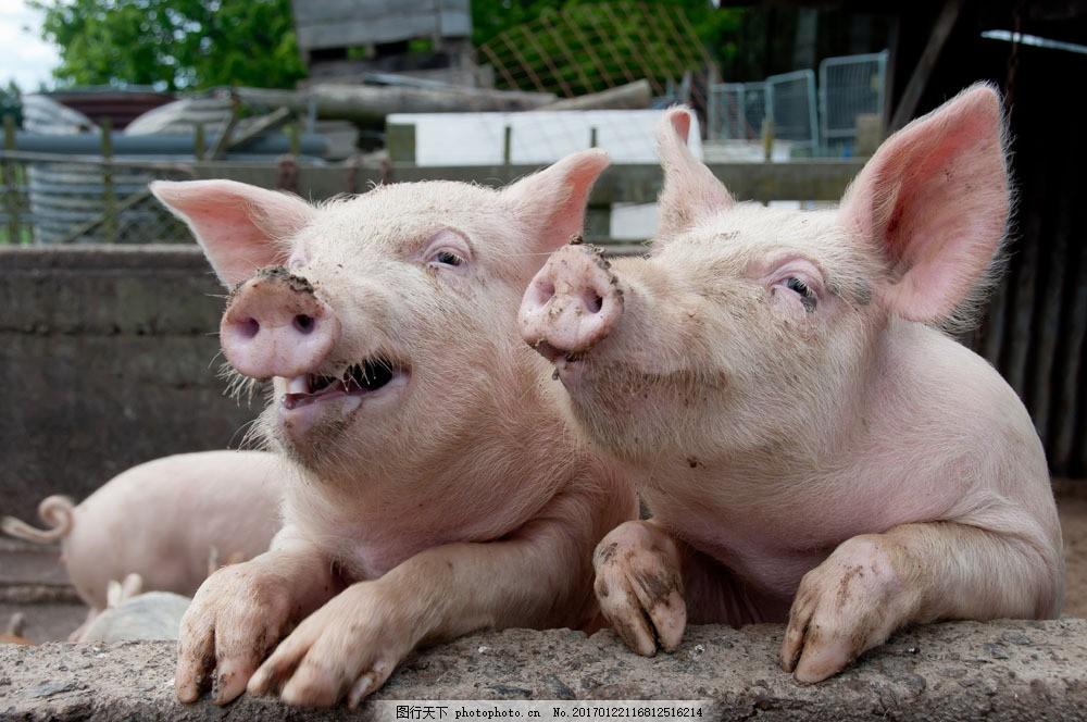 开心的猪 开心的猪图片素材 农场 养殖 动物 陆地动物 生物世界