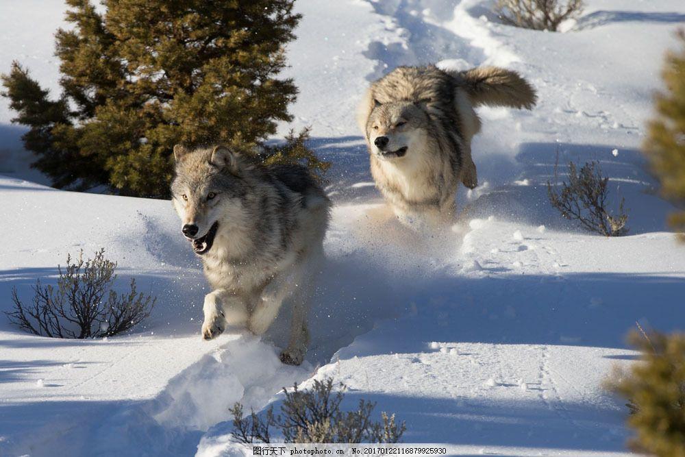 雪地奔跑的狼 雪地奔跑的狼图片素材 野生动物 动物世界 动物摄影