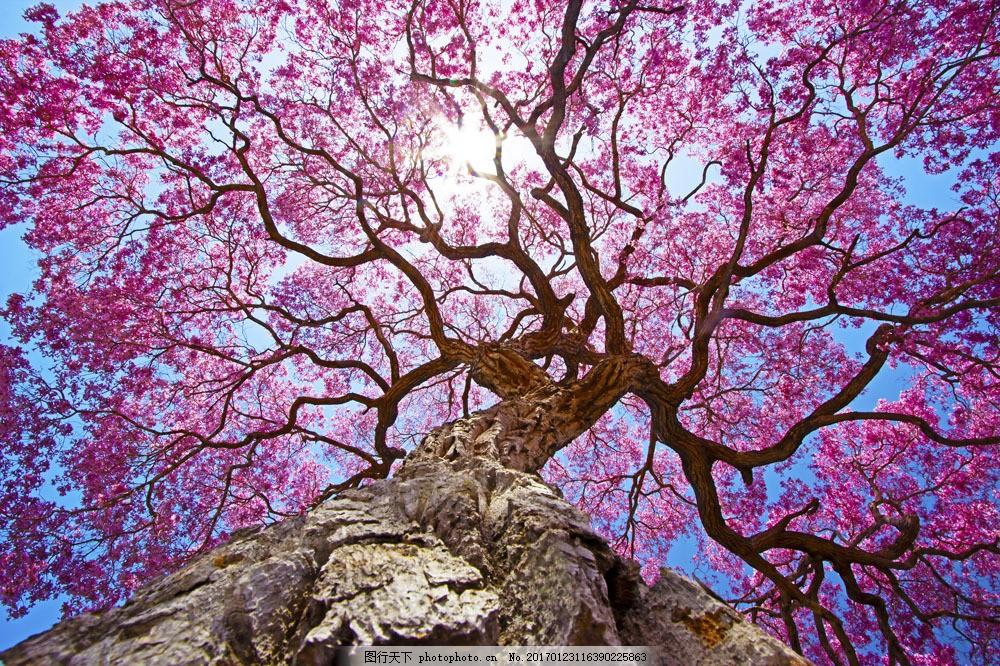 鲜花 粗壮 树根 阳光 蓝天 粉色 蓝色 山水风景 风景图片 图片素材